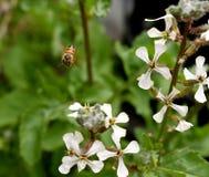 Abeja en vuelo con una flor salvaje Fotografía de archivo