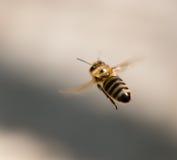 Abeja en vuelo en naturaleza Foto de archivo libre de regalías