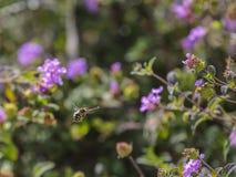 Abeja en vuelo entre las flores lantany Fotografía de archivo libre de regalías