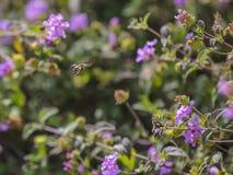 Abeja en vuelo entre las flores lantany Foto de archivo