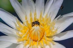 Abeja en Waterlily Imagenes de archivo