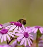 Abeja en webbii del pericallis de las flores salvajes Imagenes de archivo