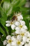 Abeja en whitethorn floreciente Foto de archivo