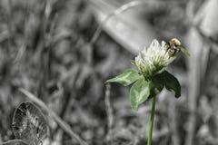 Abeja en wildflower Foto de archivo libre de regalías