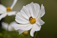 Abeja en wildflower Imagenes de archivo
