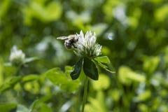 Abeja en wildflower Fotografía de archivo libre de regalías