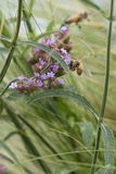 Abeja en wildflower Fotos de archivo