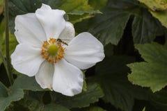 Abeja en wildflower Imágenes de archivo libres de regalías
