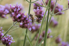 Abeja en wildflower Fotografía de archivo