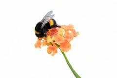 Abeja en wildflower Imagen de archivo