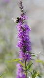Abeja en wildflower en el lago Imagenes de archivo