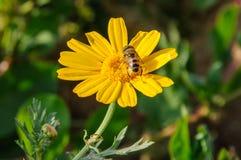 Abeja en wildflower floreciente amarillo. Imagen de archivo