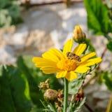 Abeja en wildflower floreciente amarillo Imagen de archivo
