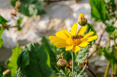 Abeja en wildflower floreciente amarillo Imágenes de archivo libres de regalías