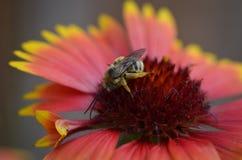 Abeja en Wildflower nativo Imagen de archivo