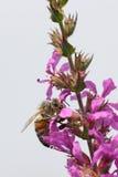 Abeja en wildflower púrpura Fotografía de archivo libre de regalías