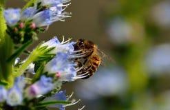 Abeja en wildflowers del echium Imagen de archivo