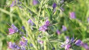 Abeja en wildflowers púrpuras almacen de metraje de vídeo