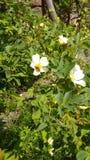 Abeja en wildrose Imagen de archivo