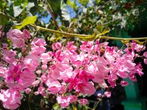 Abeja encaramada en las flores de la buganvilla Fotografía de archivo libre de regalías