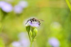 Abeja encaramada en una flor Foto de archivo