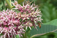 Abeja encaramada en una flor milweed pantano Foto de archivo libre de regalías