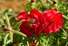 Abeja encima de la flor roja de Portulas grandiflora Imágenes de archivo libres de regalías