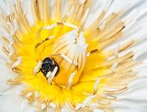 Abeja encima del loto blanco Foto de archivo libre de regalías