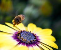 Abeja entrante que recoge el polen Foto de archivo libre de regalías
