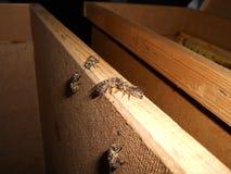 Abeja entre las abejas Imagen de archivo