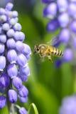 Abeja entre las flores Fotos de archivo libres de regalías