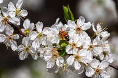 Abeja entre las flores blancas en primavera Imagen de archivo libre de regalías