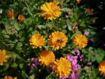 Abeja entre las flores de la maravilla Imagen de archivo