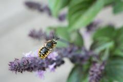 Abeja europea de la carda mechera de las lanas que se acerca en vuelo a una flor púrpura Fotografía de archivo libre de regalías