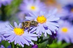 Abeja europea de la miel en la flor del aster Fotografía de archivo libre de regalías