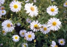 Abeja europea de la miel en la flor del aster Foto de archivo libre de regalías