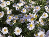 Abeja europea de la miel en la flor del aster Fotografía de archivo