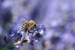 Abeja europea de la miel (mellifera de los Apis) Foto de archivo libre de regalías