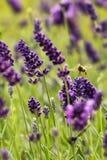 Abeja europea de la miel (mellifera de los Apis) Imágenes de archivo libres de regalías