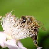 Abeja europea en una flor Imagen de archivo