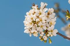 Abeja feliz en las flores de cerezo en el cielo azul de la primavera con tarde bilimy krasnymy de las nubes Foto de archivo