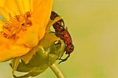 Abeja Flightless en una flor amarilla Imagen de archivo libre de regalías