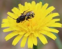 Abeja, flor, polinización, amarillo, afuera Foto de archivo