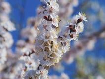 Abeja floreciente del albaricoquero en fondo blureed Fotos de archivo libres de regalías