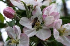 Abeja, flores de la manzana Fotografía de archivo libre de regalías