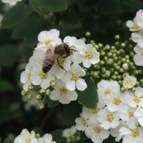 Abeja grande en una flor blanca en el jardín Fotografía de archivo libre de regalías