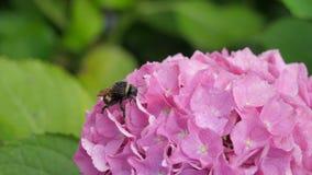 Abeja grande en una flor de una flor rosada de la hortensia Imágenes de archivo libres de regalías