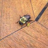 abeja grande en una tabla de madera en foco Imágenes de archivo libres de regalías