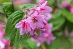 Abeja grande que poliniza la flor rosada Imagenes de archivo