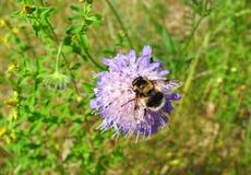 Abeja hermosa en la flor violeta, Lituania Imágenes de archivo libres de regalías